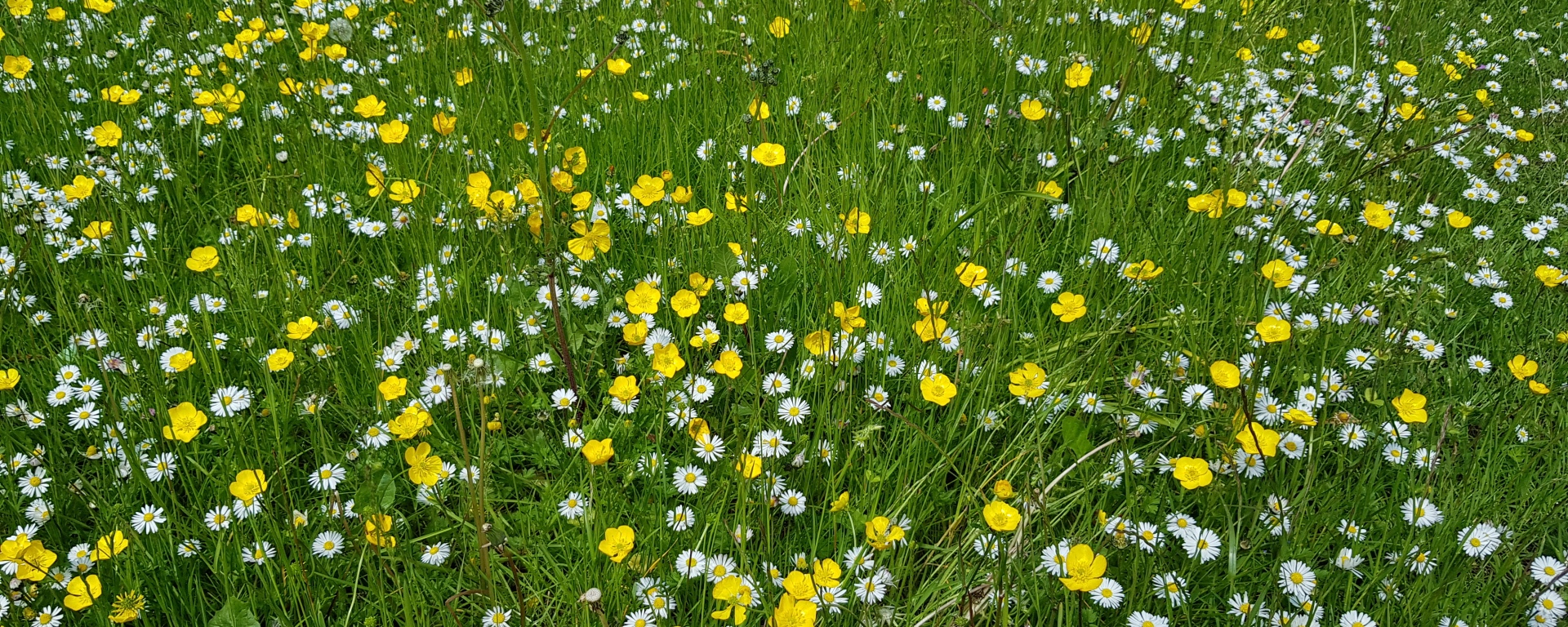 Thank you notes field of daisies and buttercups